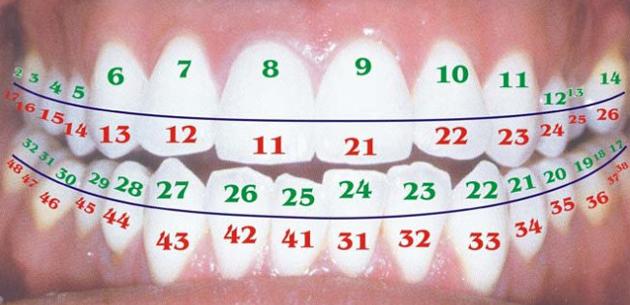 Как нумеруются зубы в стоматологии?