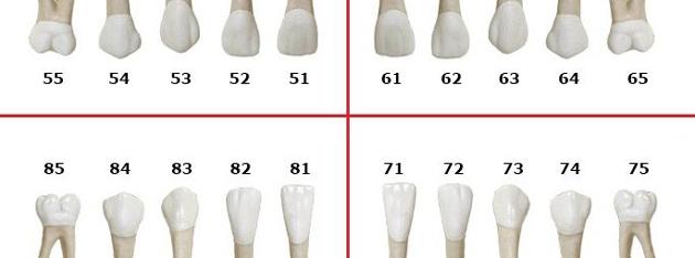 Схема нумерации молочных зубов по системе Виола