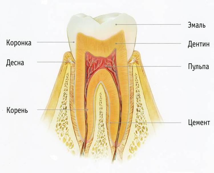 6 интересных фактов про дентин зуба