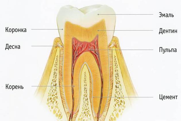 На фото показано строение зуба